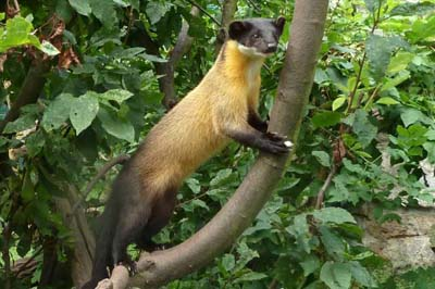 Yellow-Throughted Marten